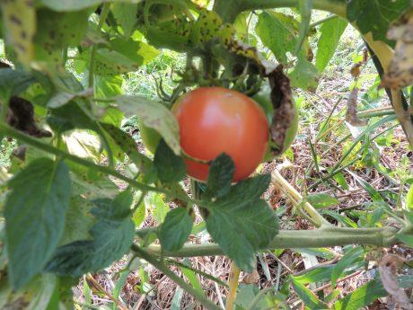 トマトその後