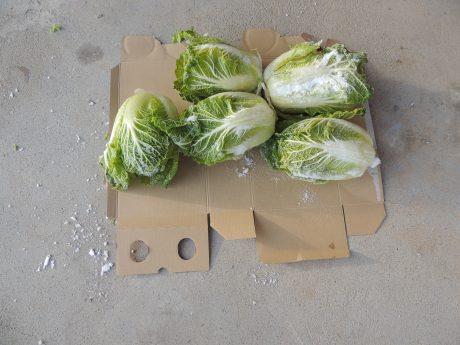 白菜掘り(その2)